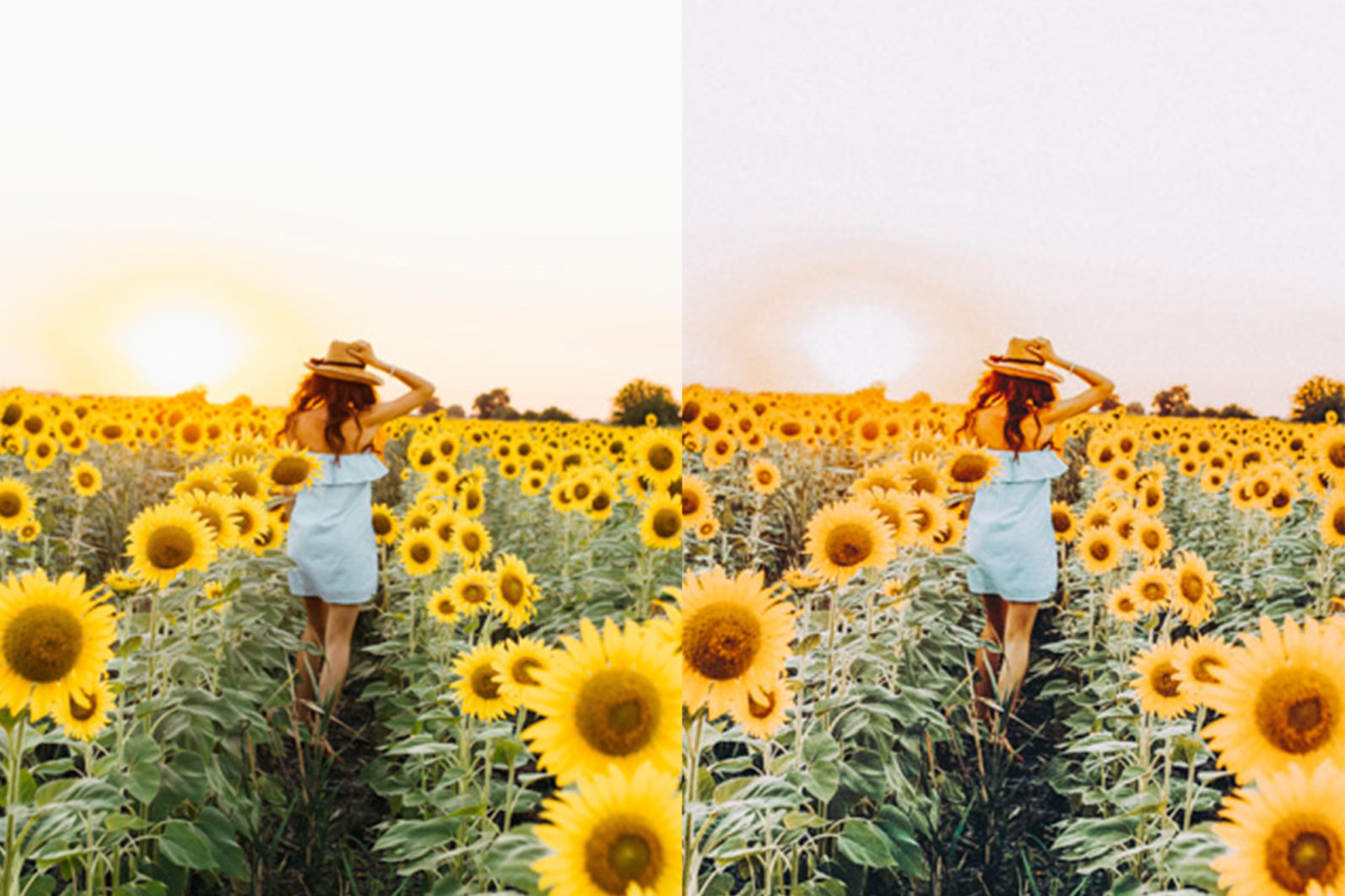12 x Sunflower Fields Lightroom Presets   Warm Lightroom Presets   Yellow Presets - 7 Sunflower Fields -